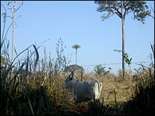 Cow in cleared Amazon pasture