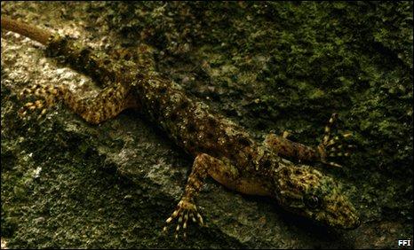 Cnemaspis neangthyi gecko