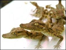 Baby Caiman crocodiles