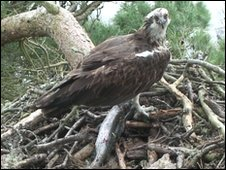 The osprey at Loch of the Lowes wildlife reserve