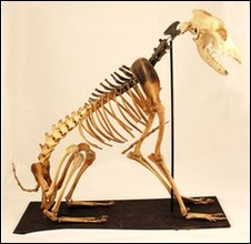 Mary Rose dog skeleton