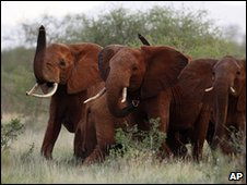 Elephants use their trunks to smell for possible danger in the Tsavo East national park, Kenya