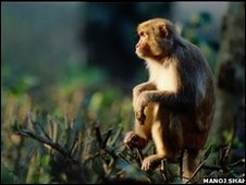 Assamese macaque (copyright Manoj Shah)