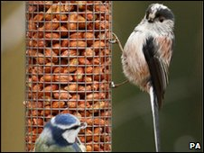 Long-tailed tit (right) and a blue tit feeding in a Hampshire garden