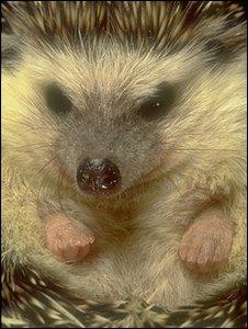 A hedgehog (SPL)