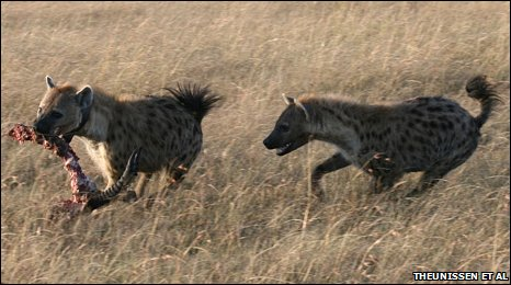 Hyenas competing over food
