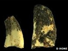 Fossilised Velociraptor teeth