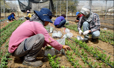 Thai workers at a farm in Nativ Haasara