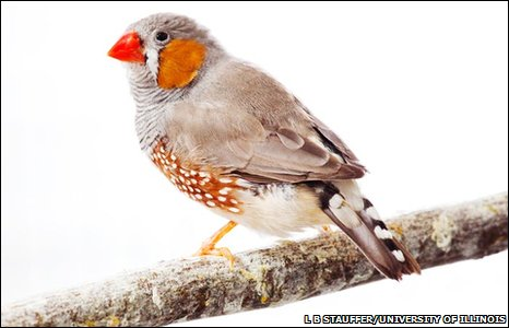 Zebra finch, which is the first songbird to have had its genome