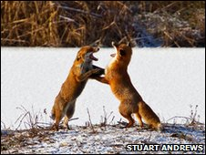 Foxes sparring at Upton Warren in Worcestershire by Stuart Andrews