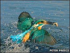 A kingfisher at Feckenham by Peter Preece