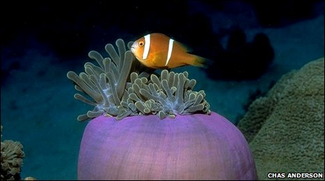 Clownfish off Chagos island (Chas Anderson)