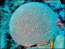 Brain coral (Anne and Charles Sheppard)