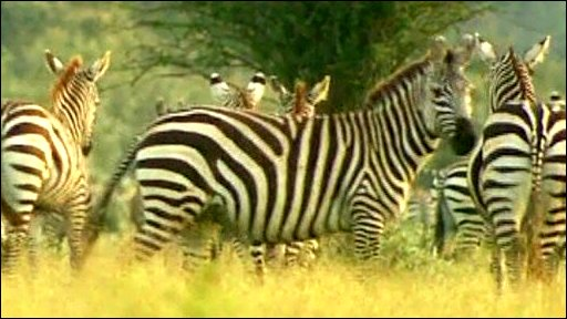 Zebras and wildebeeste are being moved to escape drought