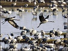 Cranes at Lake Hornborga (file pic)