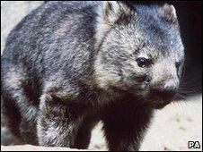 Wombat (file image)