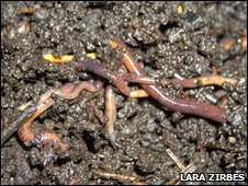 Eisenia fetida earthworms on soil
