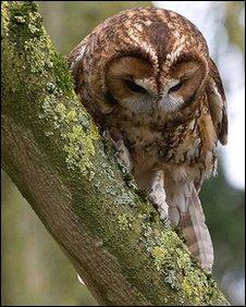 Troy the Tawny owl