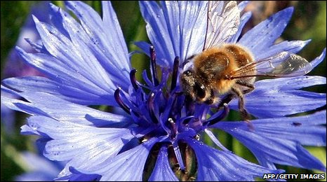 A honeybee is pictured as it sits on a cornflower (Photo: Dieter Nagl)