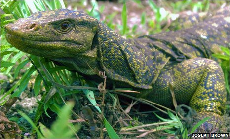 A close look at the giant Varanus bitatawa