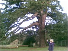 The Cedar of Lebanon; possibly as old as the hall itself.