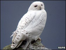 Snowy owl. Image: RSPB Images