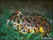 A female adult horned frog