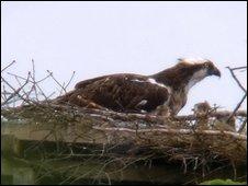 Kielder osprey nest