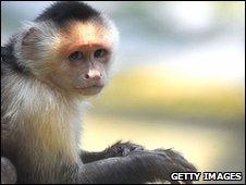 Capuchin (generic)
