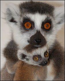 Lemur at Beale Park with triplets
