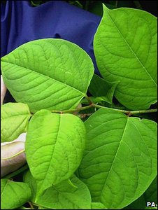 Japanese knotweed (Image: PA)