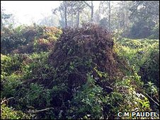 The invasive creeper, <i>Mikenia Micrantha</i>, is damaging national parks in Nepal (Image: C M Paudel)