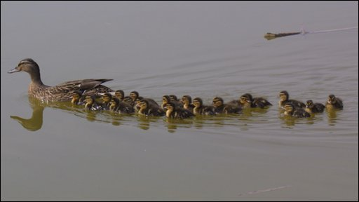 The duck and her 21 ducklings (pic: sent in by Brian Moore)