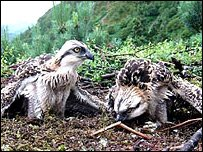 Ospreys at Bassenthwaite