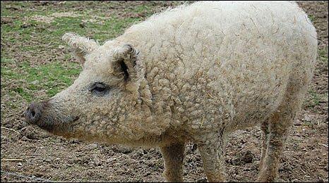Mangalitza pig