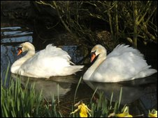 Two swans at Abbotsbury