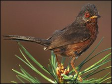 Dartford Warbler (ANDY HARMER / SCIENCE PHOTO LIBRARY)