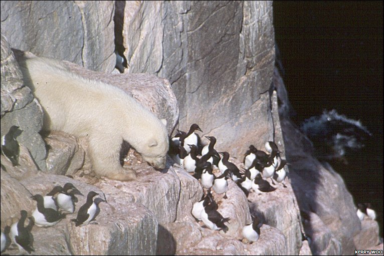 Polar bear climbing a cliff face