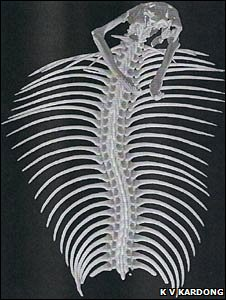 Cobra skeleton