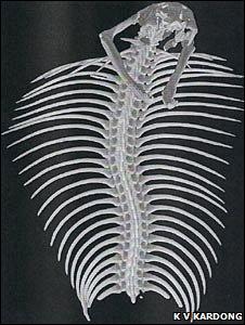 Cobra skeleton