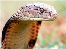 King cobra (SPL)