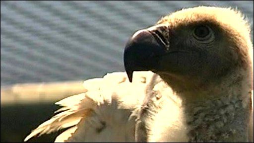 Vultures are facing extinction