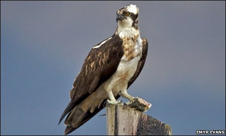 The female osprey near Machynlleth