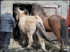 Farmer Ingi Sveinbjoernsso puts the last of his horses into a barn in Yzta-baeli, Iceland, 18 April 2010