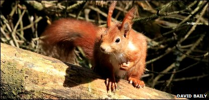 Conservationists hope to make Anglesey a red squirrel haven
