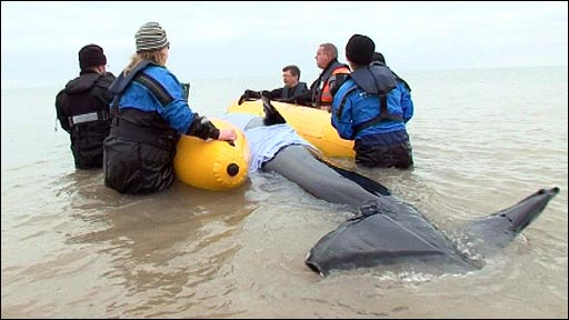 How to rescue a stranded inflatable whale