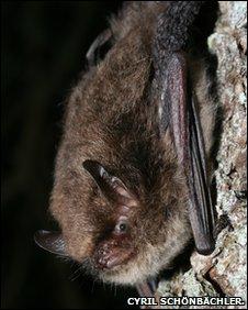 Alcathoe's bat