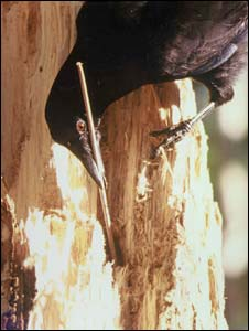 New Caledonian crow (University of Auckland)
