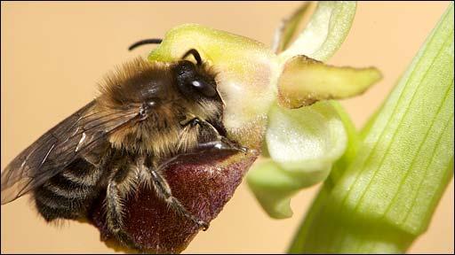 Bee mating with Ophrys arachnitiformis (Nicolas Vereecken)