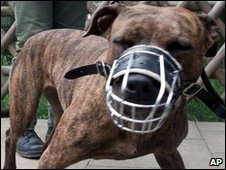 A pit bull terrier in a muzzle